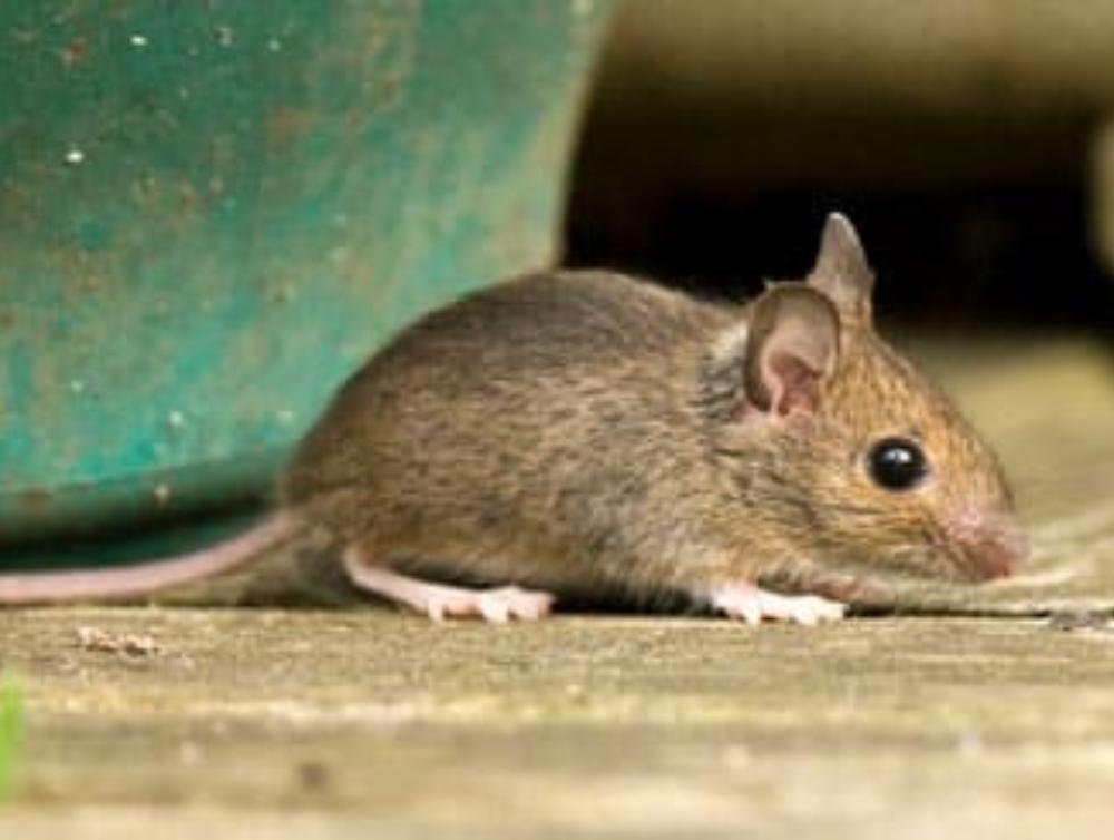 Comment faire fuir les souris avec des méthodes naturelles ?