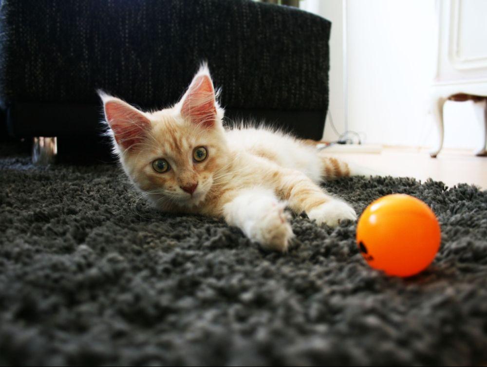Le premier bar à chat vernonnais ouvre le 12 juin 2021 !